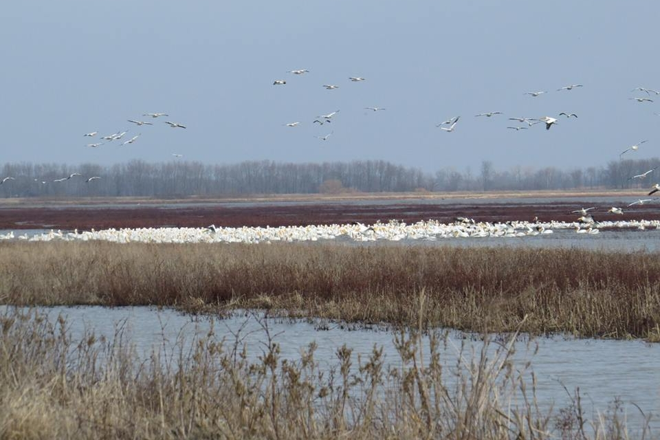 Large group of American White Pelicans