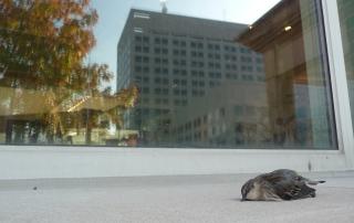 Dead Yellow-rumped Warbler from Window Strike