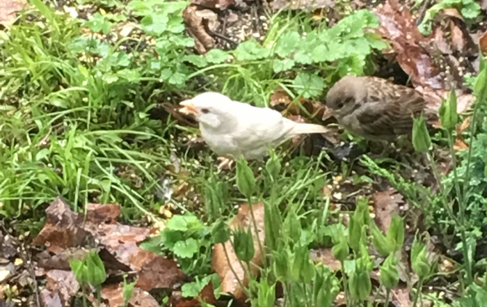 Albino House Sparrow