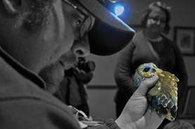 Brad Bumgardner banding an owl
