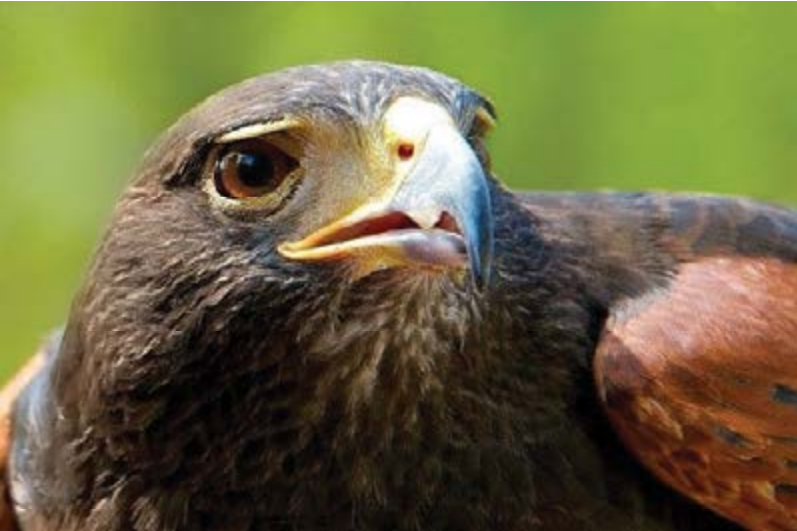 """Harris,"""" Hawk"""
